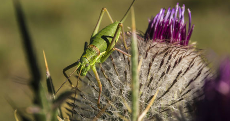 Listen For Real Life Jiminy Crickets On Singing Insect Soundwalk – DNAinfo Chicago